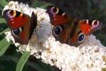 vlinders-61-346764